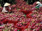 Dragon fruit dominates Vietnam fruit exports